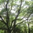 蝉時雨の森