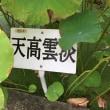2018年9月1日 活動報告 ② 開花状況 漢蓮、白君子小蓮、素白蓮が咲いています