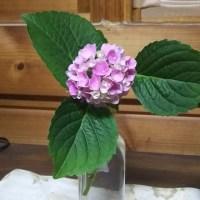 ミニ紫陽花