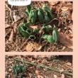 まだまだ寒いですが畑は春を感じているようです。チューリップが地中から顔を出してきました。楽しみです。