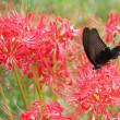 彼岸花に来た蝶々