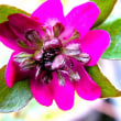 雪割草の花 8