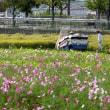 ひまわりの丘公園のコスモス 2017.10.18