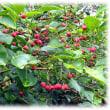 秋の季語(^^♪鈴なりの朱色がかった赤色の四角い果実が美しい「マユミ(真弓・檀)の実」