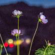 夜のコスモスの丘