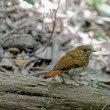 アカヒゲ幼鳥(巣立ち雛)