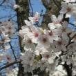今更ながら〈桜〉の写真を