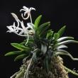 富貴蘭 桂月の花