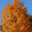 イチョウの季節です…多摩川秋景色シリーズ