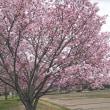 辰の口親水公園の桜が満開です!
