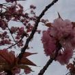 諸上寺公園の「八重桜」情報 2018① 新潟県村上市