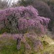 春の福島県三春付近