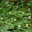 少し夏バテ、南禅寺の蓮と睡蓮