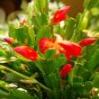 我が家のシャコバサボテンが咲いています
