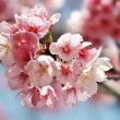 府中の森・桜が咲きました。