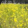 名大構内の菜の花