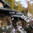 梅の花と風景。