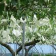 洋ナシの有袋(ゆうたい)栽培