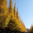 絵画館前の銀杏並木