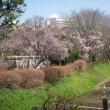 目黒でお花見2016(1)駒場野公園のコヒガンザクラ