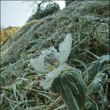 冬,虫の目写真(17) ~セツブンソウ(続)~