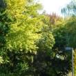 松沢病院の公孫樹