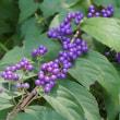 紫式部 花言葉