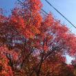 赤い紅葉☆