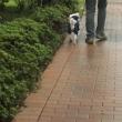 髭犬のお祭りに行くの♪雨でも楽しいはず