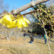 青空に春待ちかねて花に寄る