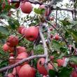 リンゴ収穫のボランティア