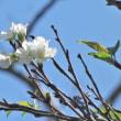 奄美でも季節外れの桜(オオシマザクラ)