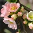 庭植えのボケ~「東洋錦」
