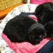 本日は黒猫男子チームの仲良しな寝姿ですん(ΦωΦ)