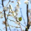 こちらは、梅の花にメジロ。