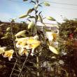 カサブランカが咲いた1株に20個の花