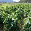 黒豆の成長