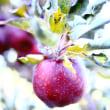 ブログ更新 「りんご狩り」