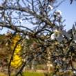つかもと銀杏 と つかもと桜
