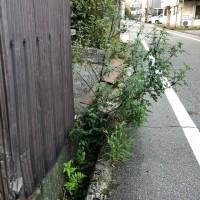 側溝に根を下ろした木。放置され、いつか、大木になったりして・・・。