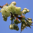 ソメイヨシノの後に続く桜