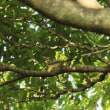 ツツドリ & カワセミ ・・・ 8月19日 農業公園で