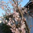 こちらは自宅裏に咲いている山桜です。