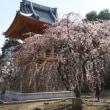 慈眼寺のしだれ桜2019(その5)
