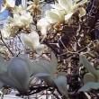 春花繚乱 白木蓮