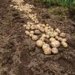 ジャガイモの収穫作業‼️