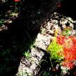 彼岸花もあっと言う間に咲き、そして終わる。