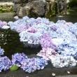 ♪♪ 紫陽花が水に浮かんどる。。。