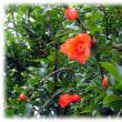 初夏の彩り(^^♪万緑叢中紅一点 紅色の鮮やかな「ザクロ(柘榴)」の花