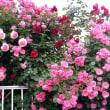バラの季節です